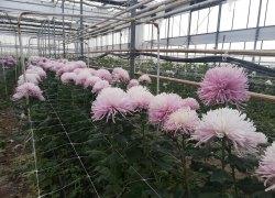 Pomoc dla producentów chryzantem - kwiaty cięte